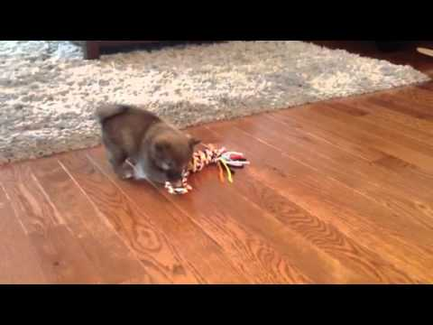 Dougie playing with rope toy - shiba inu puppy 7 weeks