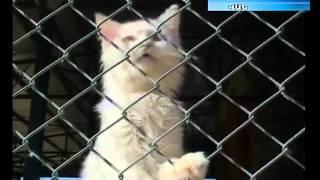 Vanakatu-Ванская кошка-Van cat Վանա կատու  www.arbugo.am