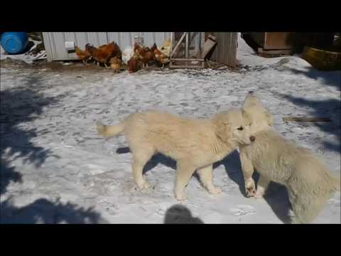 Akbash-Anatolian Shepherd Puppies 2017-03-09
