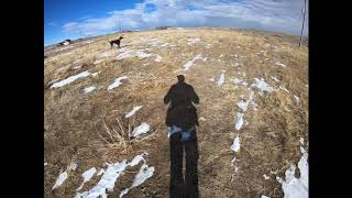 Steady to Wing Flush & Shot German Wirehaired Pointer