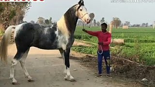 घोड़ों की ऊंचाई और टांगों की जानकारी : Indian Horse Height & legs Informations By Horse Breeder