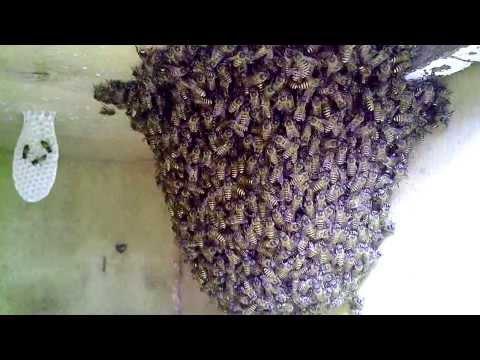 Bẫy tổ ong ruồi vào thùng nuôi