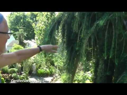 Euorpean Larch -Larix Decidua â 'Puliâ' ™      American Conifer Society