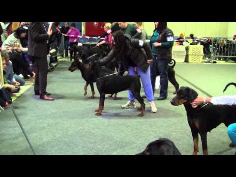 CACIB 86th International Dog Show in Luxembourg - Dobermann females