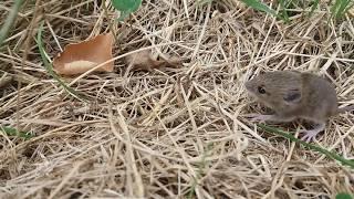 Полевая мышь / МЫШАТА ОСТАЛИСь БЕЗ МАМЫ