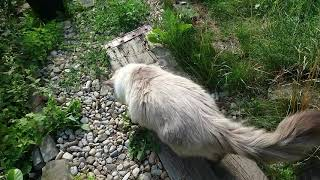 Невский маскарадный кот Тучкин на прогулке.