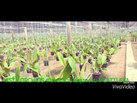Cattleya Thailand