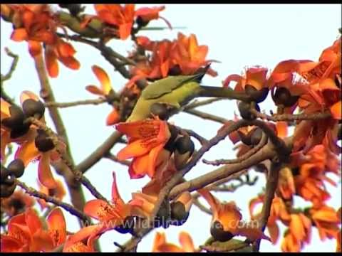 Sehmul or Silk Cotton tree with Rose-ringed Parakeet eating its flowers