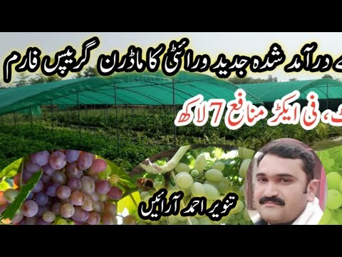 Grapes Farming In Pakistan Grapes Production Technology Best Business Earn Upto 5 Lakh Youtube