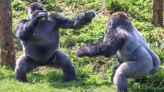 ГИГАНТСКАЯ ГОРИЛЛА В ДЕЛЕ! Вот на что способны гориллы в ярости!
