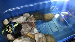 Common snapping turtle care (advanced)
