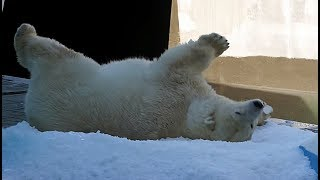 Новосибирские полярные медведи впервые увидели снег летом❄