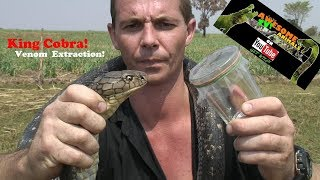 King Cobra Venom Extraction - SNAKE DUDE on YouTube - Awesome Animals TV! ULAR RAJA - Life INSURANCE