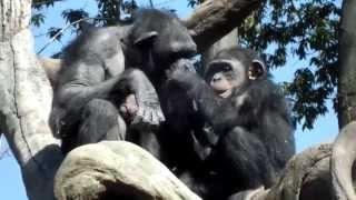 Cute! Chimpanzee mom and child.チンパンジー母子。 ZOORASIA YOKOHAMA...
