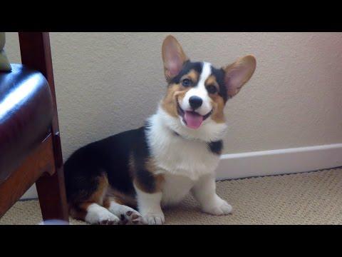 SMILING DOG - the Happiest Corgi Puppy