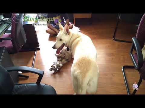 2-month-old Alaskan Malamute Puppy & 18-month-old German Shepherd Playing Together