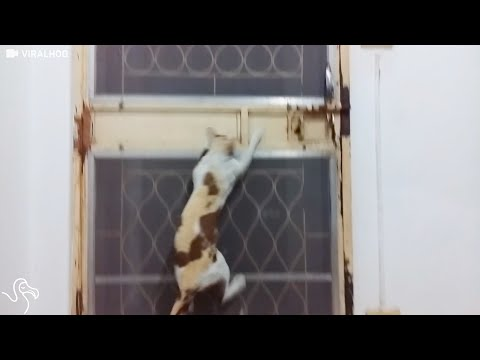 Smart Cat Figures Out How To Leave Through A Closed Door