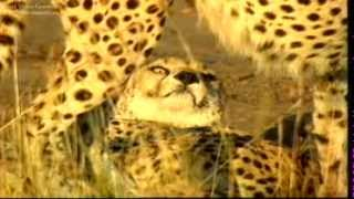 Documental en español de leones y guepardos;La muerte de yarang