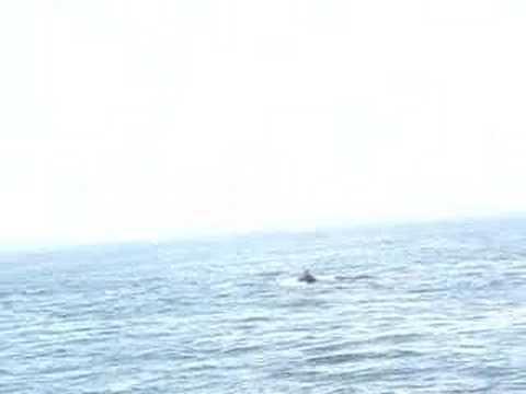 Whale Watch - Stellwagen Bank, MA (I'm alive - Celine Dion)