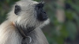 INDIA: Monkey business