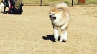゜・。。・゜゜・。。・゜☆゜・。。・゜゜・。。・゜☆ 秋田犬子犬 七夕...