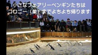 #8【フィリップ島】野生のペンギンパレードでよちよちな彼らを観察【名物】