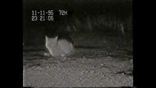 Caspian Tern Nests Attacked by a Cat