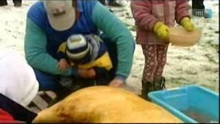 Csobánka CESC - Disznóvágás cserkészmódra - Pig slaughter á la scout