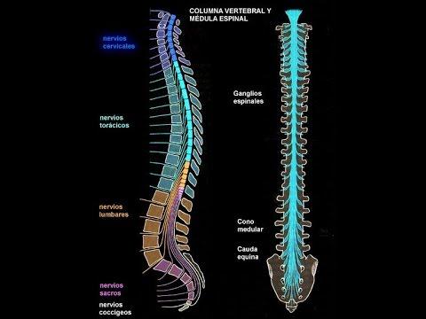 Anatomia y fisiologia medula espinal/ nervio vegetativo/ disco ...