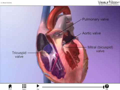 The Heart Valves With Heart Circulatory Premium 2 Youtube