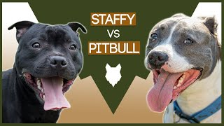 STAFFORDSHIRE BULL TERRIER VS PITBULL