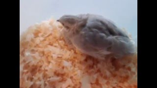 How to tame your button quail