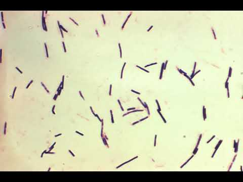 clostridium-perfringens-|-wikipedia-audio-article