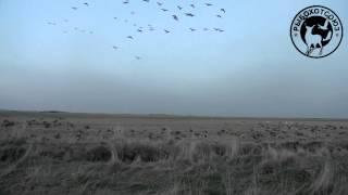 Охота на гусей в Исландии видео
