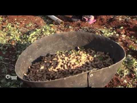 عودة المزارعين إلى زراعة الفستق السوداني في ريف حماة  - 11:21-2017 / 11 / 12