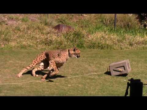 San Diego Zoo's Safari Park Cheetah Run 5/28/17