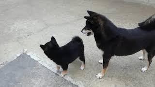柴犬子犬 母犬から教育的指導を受ける! thumbnail