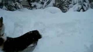 Welsh Corgis Buried/playing In Snow