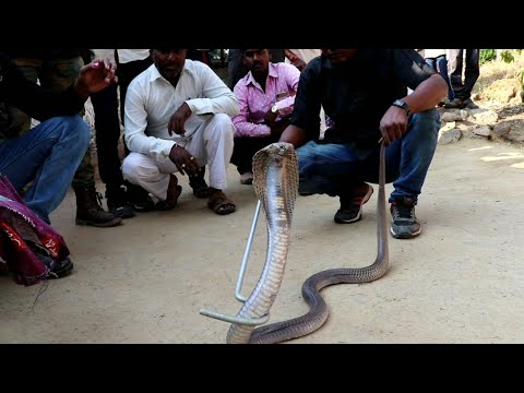 Big cobra snake rescue from Ahmednagar, maharashtra