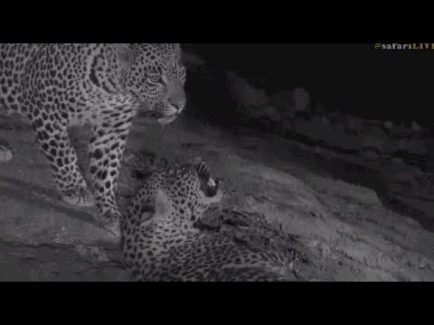 Safari Live : Interaction between Hosana...