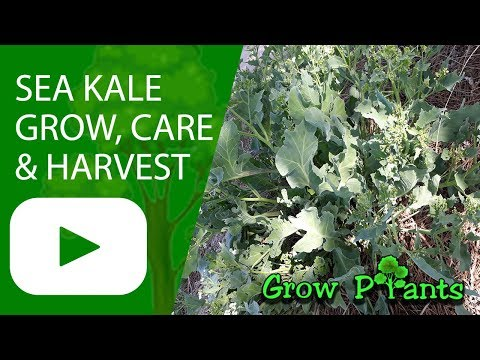Sea kale - grow, harvest & eat