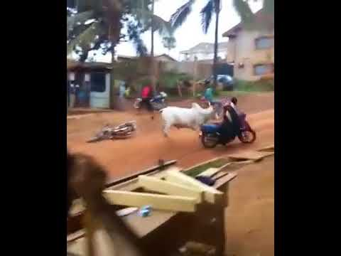 Image result for Watch the terrifying moment a cow attacked a woman on a motorbike in Osun