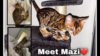Bringing Home My Bengal Kitten