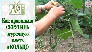 видео ОГУРЦЫ. 3 способа вертикального выращивания плети в теплице
