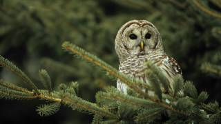 Voices: Barred Owl thumbnail