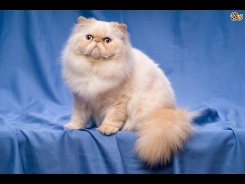 Persian cat Cat Breed