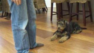 Matilda - 4 Month Old Airedale Terrier - Home Obedience Training