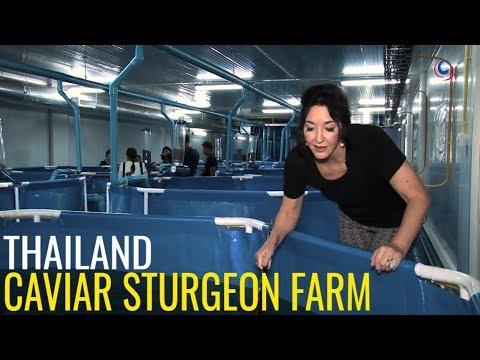 Caviar Production In Thailand's Sturgeon Farm Based In Hua Hin