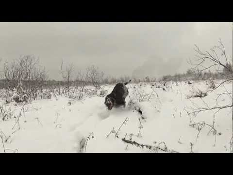 Puppy-German Wirehaired Pointer's Frau and Ebb playing in the snow