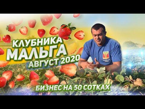 МАЛГА! Клубника НСД Мальга! Сорт клубники MALGA. Август 2020